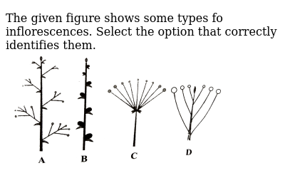 "The given figure shows some types fo inflorescences. Select the option that correctly identifies them. <br> <img src=""https://d10lpgp6xz60nq.cloudfront.net/physics_images/NCERT_FING_BIO_OBJ_XI_MFP_C05_E01_050_Q01.png"" width=""80%"">"