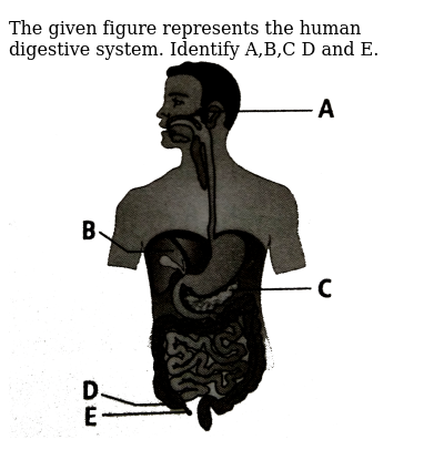 """The given figure represents the human digestive system. Identify A,B,C D and E. <br> <img src=""""https://d10lpgp6xz60nq.cloudfront.net/physics_images/NCERT_FING_BIO_OBJ_XI_DA_C16_E01_001_Q01.png"""" width=""""80%"""">"""