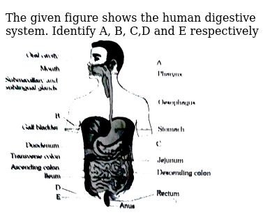 """The given figure shows the human digestive system. Identify A, B, C,D and E respectively <br> <img src=""""https://d10lpgp6xz60nq.cloudfront.net/physics_images/ERRL_BIO_NCERT_NEET_V01_5_1_E01_016_Q01.png"""" width=""""80%"""">"""