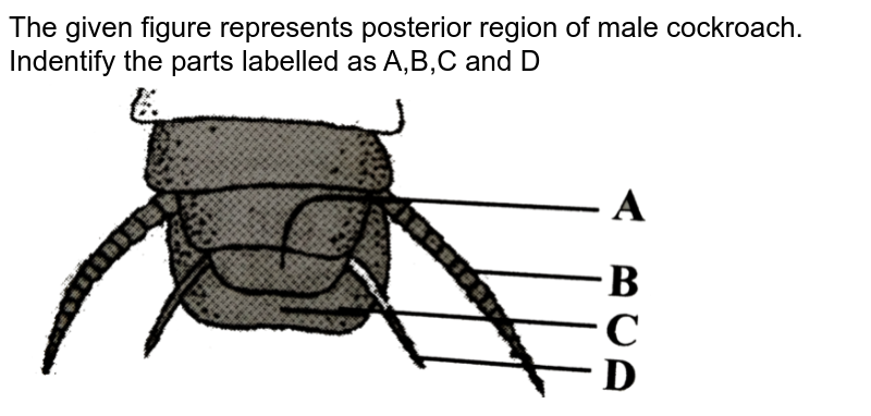 """The given figure represents posterior region of male cockroach. Indentify the parts labelled as A,B,C and D <br> <img src=""""https://d10lpgp6xz60nq.cloudfront.net/physics_images/NCERT_FING_BIO_OBJ_XI_SOA_C07_E01_071_Q01.png"""" width=""""80%"""">"""