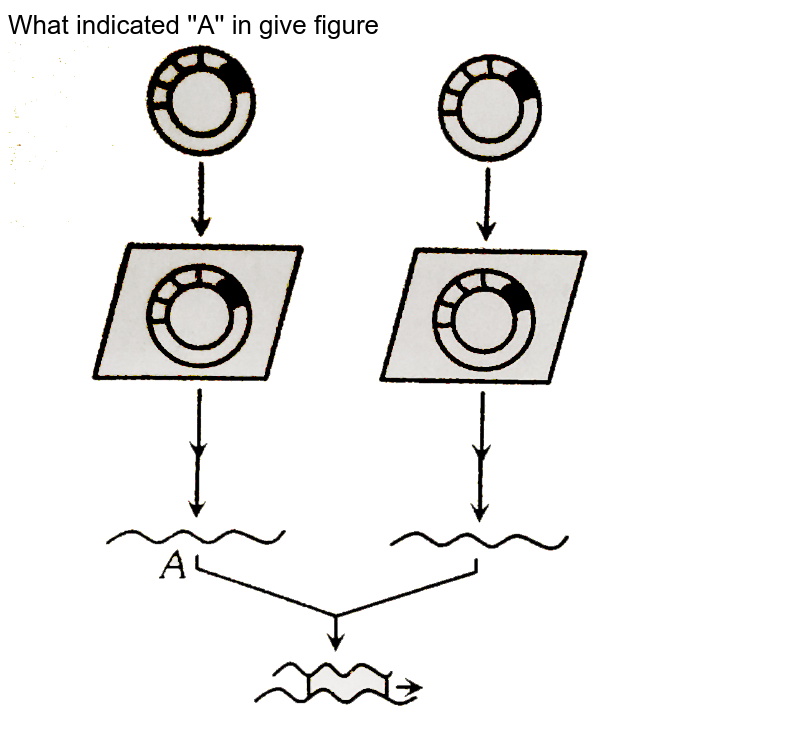 """What indicated 'A' in give figure <br> <img src=""""https://d10lpgp6xz60nq.cloudfront.net/physics_images/ERRL_BIO_NCERT_NEET_V01_C3_2_E01_089_Q01.png"""" width=""""80%"""">"""