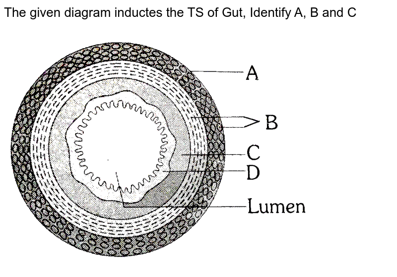"""The given diagram inductes the TS of Gut, Identify A, B and C <br> <img src=""""https://d10lpgp6xz60nq.cloudfront.net/physics_images/ERRL_BIO_NCERT_NEET_V01_5_1_E01_032_Q01.png"""" width=""""80%"""">"""