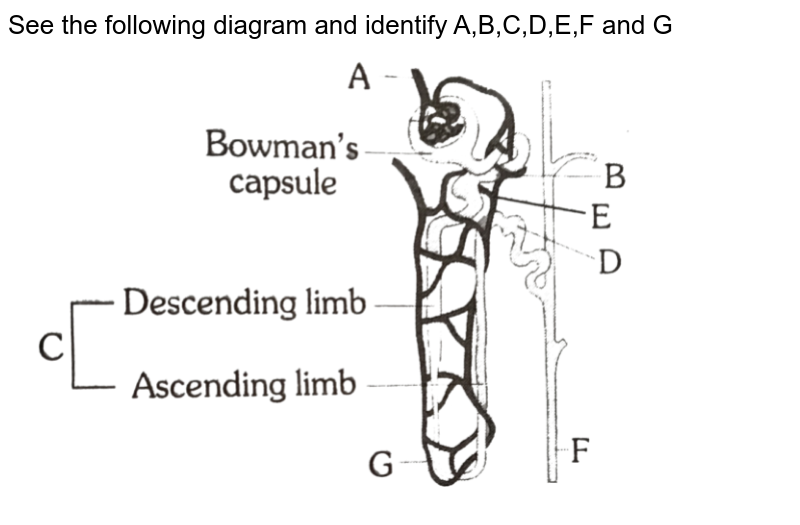 """See the following diagram and identify A,B,C,D,E,F and G <img src=""""https://d10lpgp6xz60nq.cloudfront.net/physics_images/ERRL_BIO_NCERT_NEET_V01_5_4_E01_033_Q01.png"""" width=""""80%"""">"""