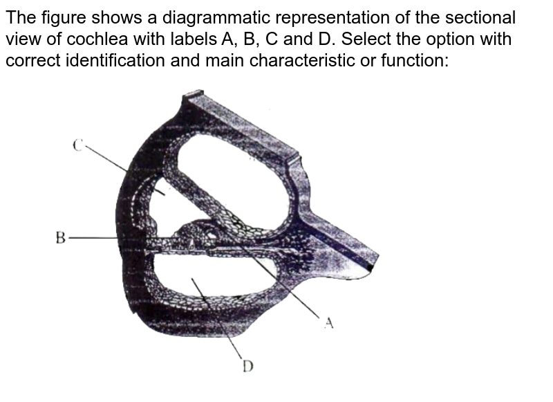 """The figure shows a diagrammatic representation of the sectional view of cochlea with labels A, B, C and D. Select the option with correct identification and main characteristic or function: <br> <img src=""""https://d10lpgp6xz60nq.cloudfront.net/physics_images/MOT_CON_NEET_BIO_C41_E05_003_Q01.png"""" width=""""80%"""">"""