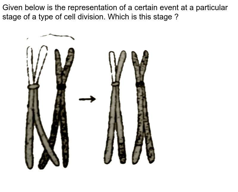 """Given below is the representation of a certain event at a particular stage of a type of cell division. Which is this stage ? <br> <img src=""""https://d10lpgp6xz60nq.cloudfront.net/physics_images/ALN_BIO_C10_E13_009_Q01.png"""" width=""""80%"""">"""