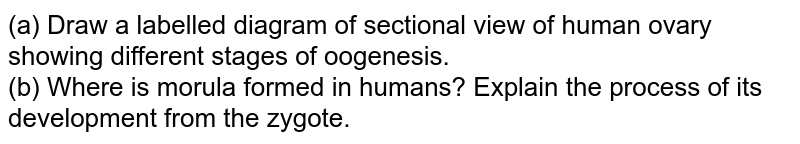 (a) Draw a labelled diagram of sectional view of human ovary showing different stages of oogenesis.  <br> (b) Where is morula formed in humans? Explain the process of its development from the zygote.