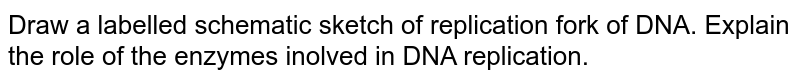 Draw a labelled schematic sketch of replication fork of DNA. Explain the role of the enzymes inolved in DNA replication.