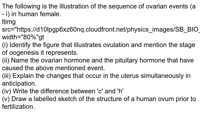 """The following is the illustration of the sequence of ovarian events (a - i) in human female.  <br> ltimg src=""""https://d10lpgp6xz60nq.cloudfront.net/physics_images/SB_BIO_XII_SET_I_2012_E01_032_Q01.png"""" width=""""80%""""gt <br> (i) Identify the figure that illustrates ovulation and mention the stage of oogenesis it represents. <br> (ii) Name the ovarian hormone and the pituitary hormone that have caused the above mentioned event. <br> (iii) Explain the changes that occur in the uterus simultaneously in anticipation. <br> (iv) Write the difference between 'c' and 'h'<br> (v) Draw a labelled sketch of the structure of a human ovum prior to fertilization."""