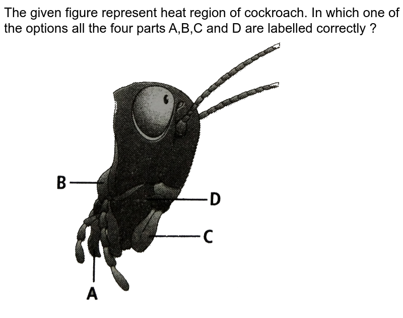 """The given figure represent heat region of cockroach. In which one of the options all the four parts A,B,C and D are labelled correctly ? <br> <img src=""""https://d10lpgp6xz60nq.cloudfront.net/physics_images/NCERT_FING_BIO_OBJ_XI_SOA_C07_E01_066_Q01.png"""" width=""""80%"""">"""