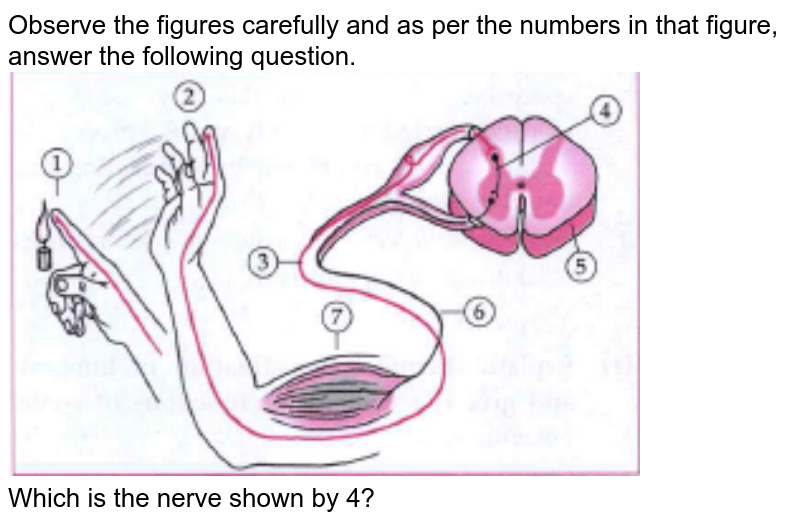 """Observe the figures carefully and as per the numbers in that figure, answer the following question.<br> <img src=""""https://doubtnut-static.s.llnwi.net/static/physics_images/CHT_MK_SCI_IX_C15_S02_076_Q01.png"""" width=""""80%""""> <br> Which is the nerve shown by 4?"""