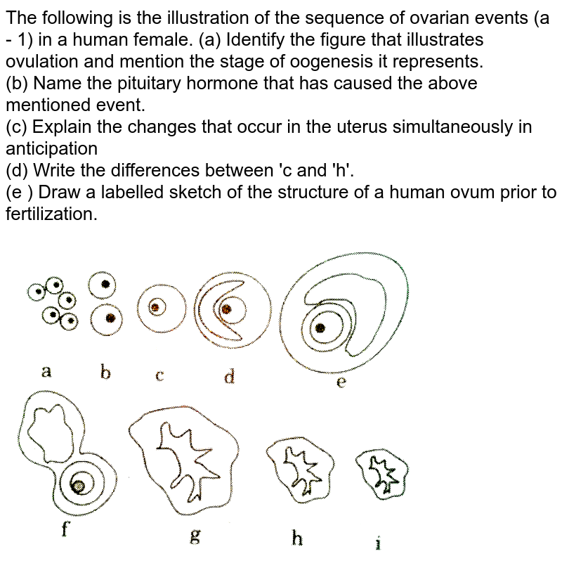 """The following is the illustration of the sequence of ovarian events (a - 1) in a human female. (a) Identify the figure that illustrates ovulation and mention the stage of oogenesis it represents. <br> (b) Name the pituitary hormone that has  caused the above mentioned event.   <br> (c) Explain the changes that occur in the uterus simultaneously in anticipation <br> (d) Write the differences  between 'c and 'h'.  <br> (e ) Draw a labelled sketch of the structure of a human ovum prior to fertilization. <br> <img src=""""https://d10lpgp6xz60nq.cloudfront.net/physics_images/QB_BIO_XII_C01_E01_113_Q01.png"""" width=""""80%"""">"""