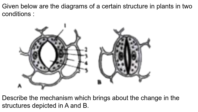 """Given below are the diagrams of a certain structure in plants in two conditions : <br> <img src=""""https://doubtnut-static.s.llnwi.net/static/physics_images/EVR_ANM_ICSE_BIO_X_C03_E01_070_Q01.png"""" width=""""80%""""> <br> Describe the mechanism which brings about the change in the structures depicted in A and B."""