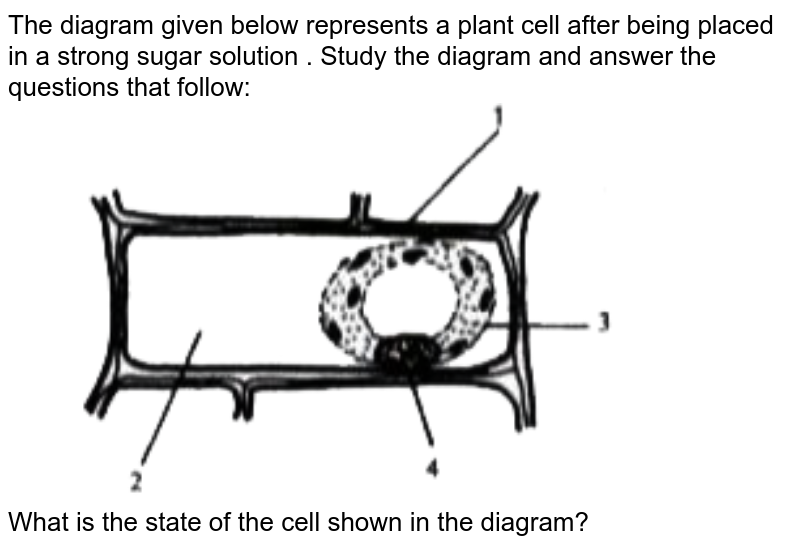 """The diagram given below represents a plant cell after being placed in a strong sugar solution . Study the diagram and answer the questions that follow: <br> <img src=""""https://doubtnut-static.s.llnwi.net/static/physics_images/EVR_ANM_ICSE_BIO_X_C03_E01_146_Q01.png"""" width=""""80%""""> <br> What is the state of the cell shown in the diagram?"""