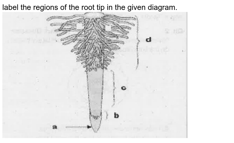"""label the regions of the root tip in the given diagram. <br><img src=""""https://doubtnut-static.s.llnwi.net/static/physics_images/EXP_BTJ_BOT_XI_C03_E03_017_Q01.png"""" width=""""80%"""">"""