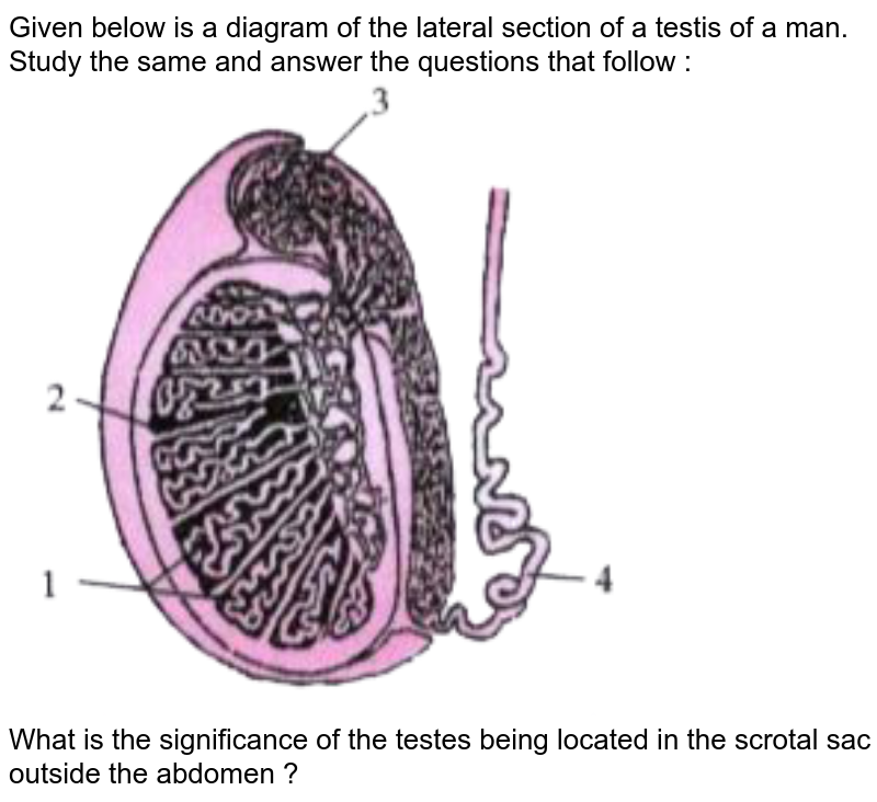 """Given below is a diagram of the lateral section of a testis of a man. Study the same and answer the questions that follow :  <br>  <img src=""""https://doubtnut-static.s.llnwi.net/static/physics_images/GRU_ICSE_10Y_SP_X_BIO_13_E01_038_Q01.png"""" width=""""80%"""">  <br>   What is the significance of the testes being located in the scrotal sac outside the abdomen ?"""