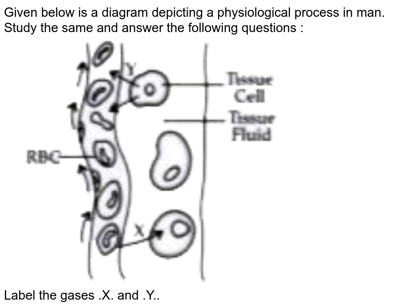 """Given below is a diagram depicting a physiological process in man. <br> Study the same and answer the following questions : <br> <img src=""""https://doubtnut-static.s.llnwi.net/static/physics_images/OSW_ICSE_QB_BIO_IX_C13_E02_024_Q01.png"""" width=""""80%""""> <br> Label the gases .X. and .Y.."""
