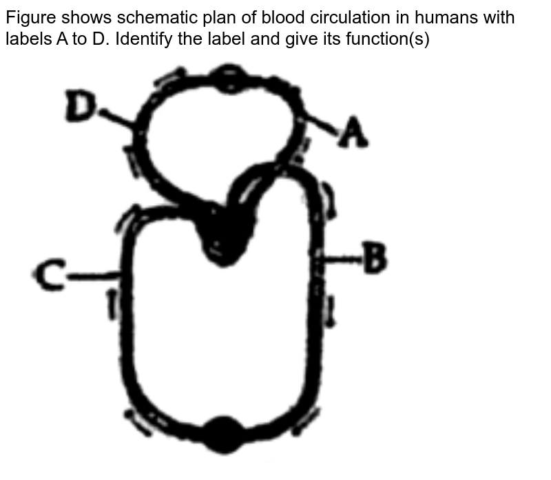 """Figure shows schematic plan of blood circulation in humans with labels A to D. Identify the label and give its function(s) <br> <img src=""""https://doubtnut-static.s.llnwi.net/static/physics_images/SASA_NJA_OBJ_BIO_V01_C18_E01_170_Q01.png"""" width=""""80%"""">"""