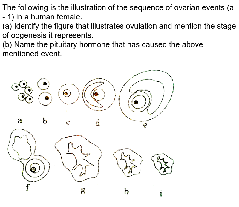 """The following is the illustration of the sequence of ovarian events (a - 1) in a human female. <br> (a) Identify the figure that illustrates ovulation and mention the stage of oogenesis it represents. <br> (b) Name the pituitary hormone that has  caused the above mentioned event.   <br> <img src=""""https://d10lpgp6xz60nq.cloudfront.net/physics_images/QB_BIO_XII_C01_E01_113_Q01.png"""" width=""""80%"""">"""