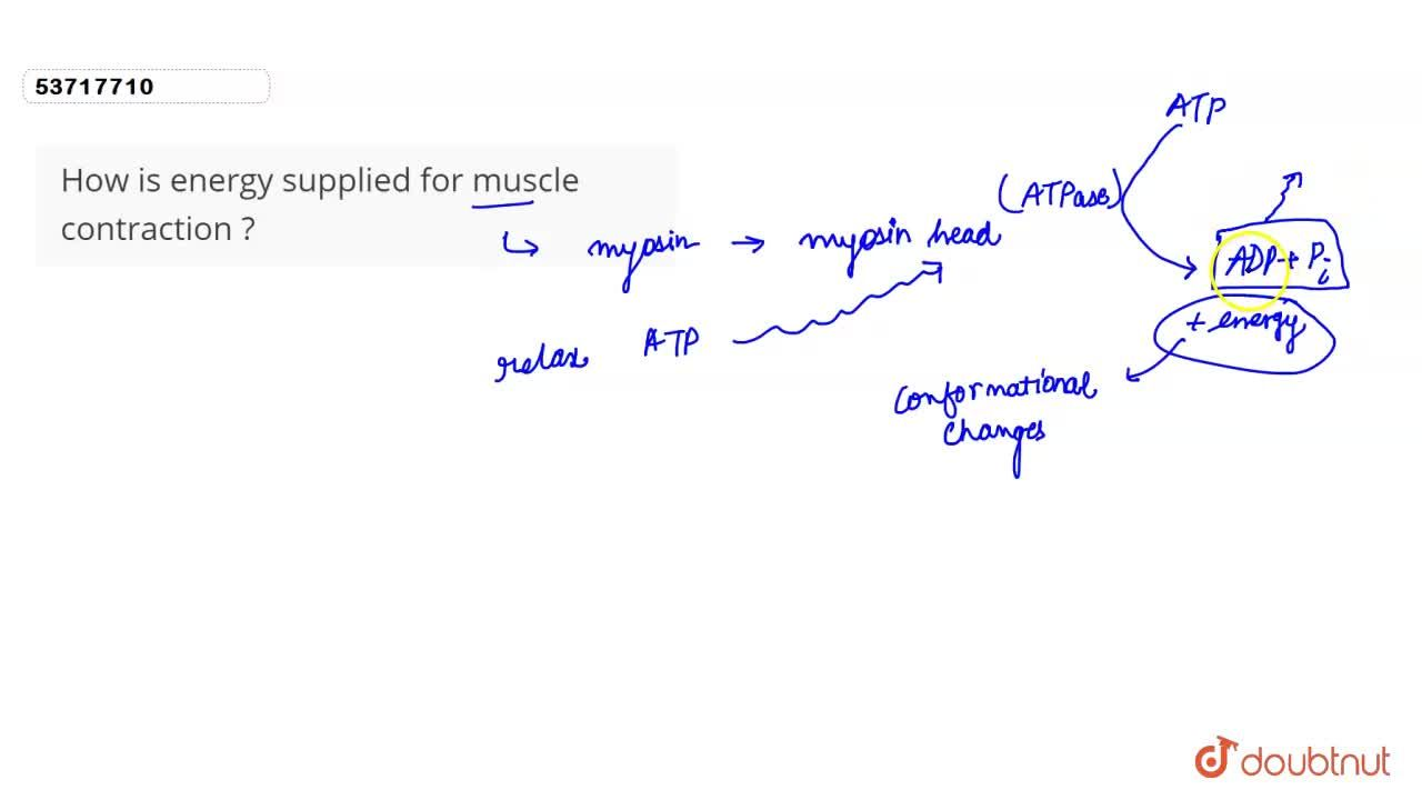 Solution for How is energy supplied for muscle contraction ?