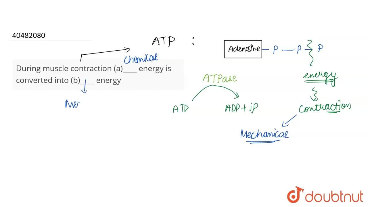 Solution for During muscle contraction (a)____ energy is conver