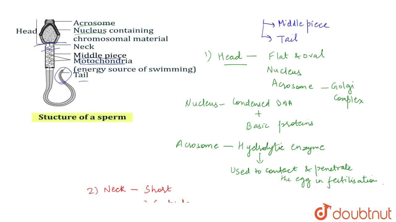 Solution for Structure Of Spermatozoan