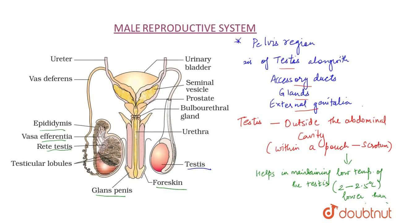 Solution for Organs Of Male Reproductive System