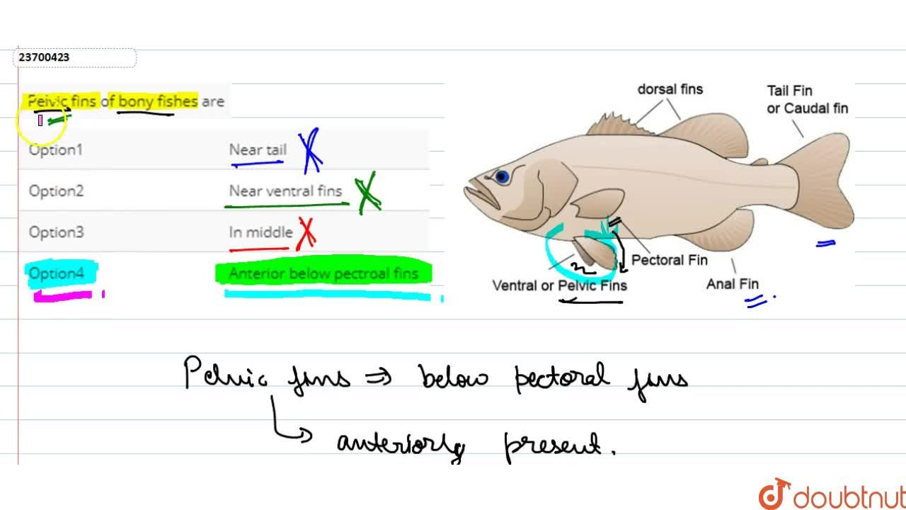 Solution for Pelvic fins of bony fishes are