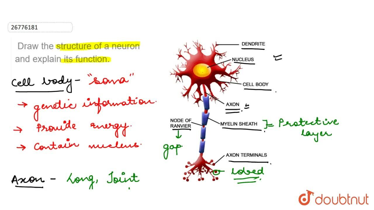 Solution for  Draw the structure of a neuron and explain its fu