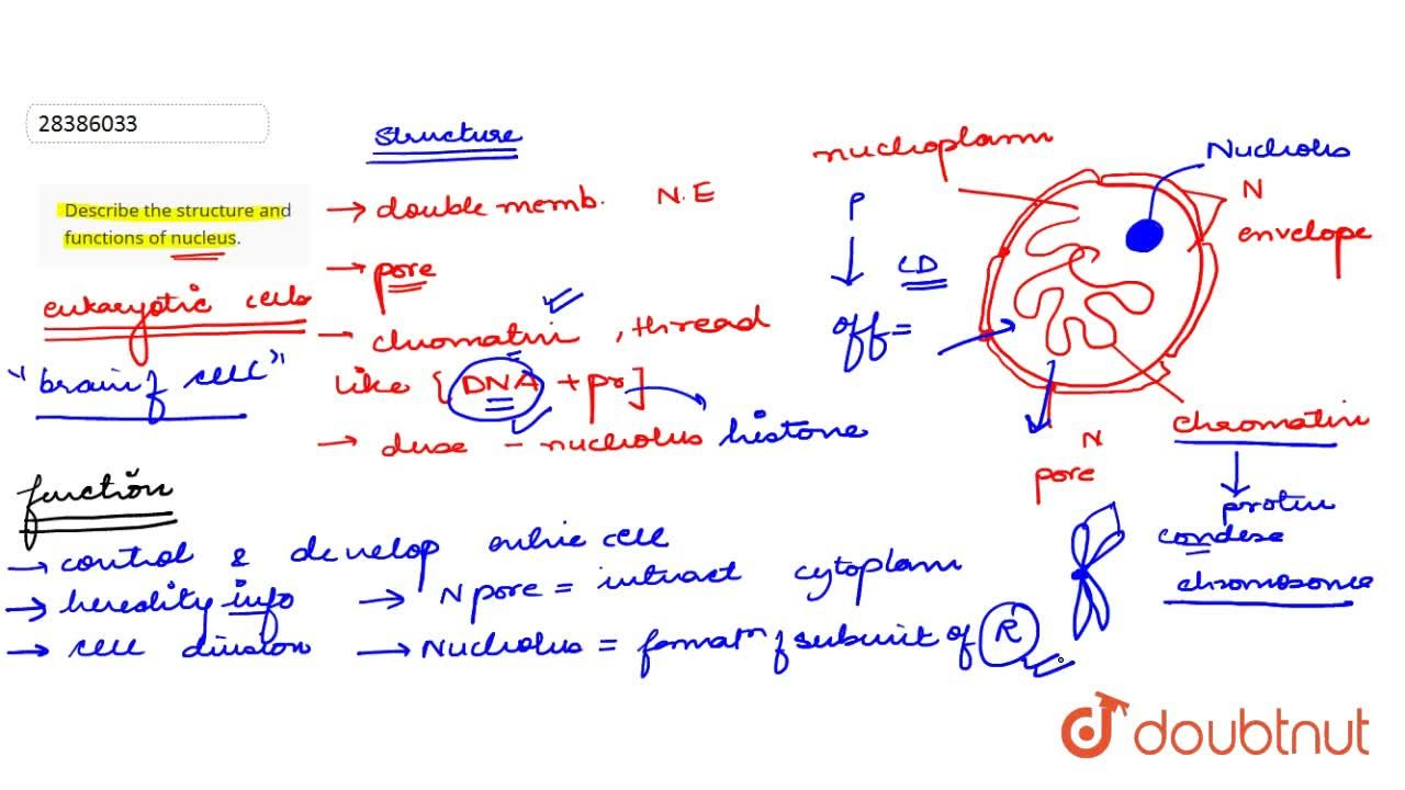 Describe the structure and functions of nucleus.