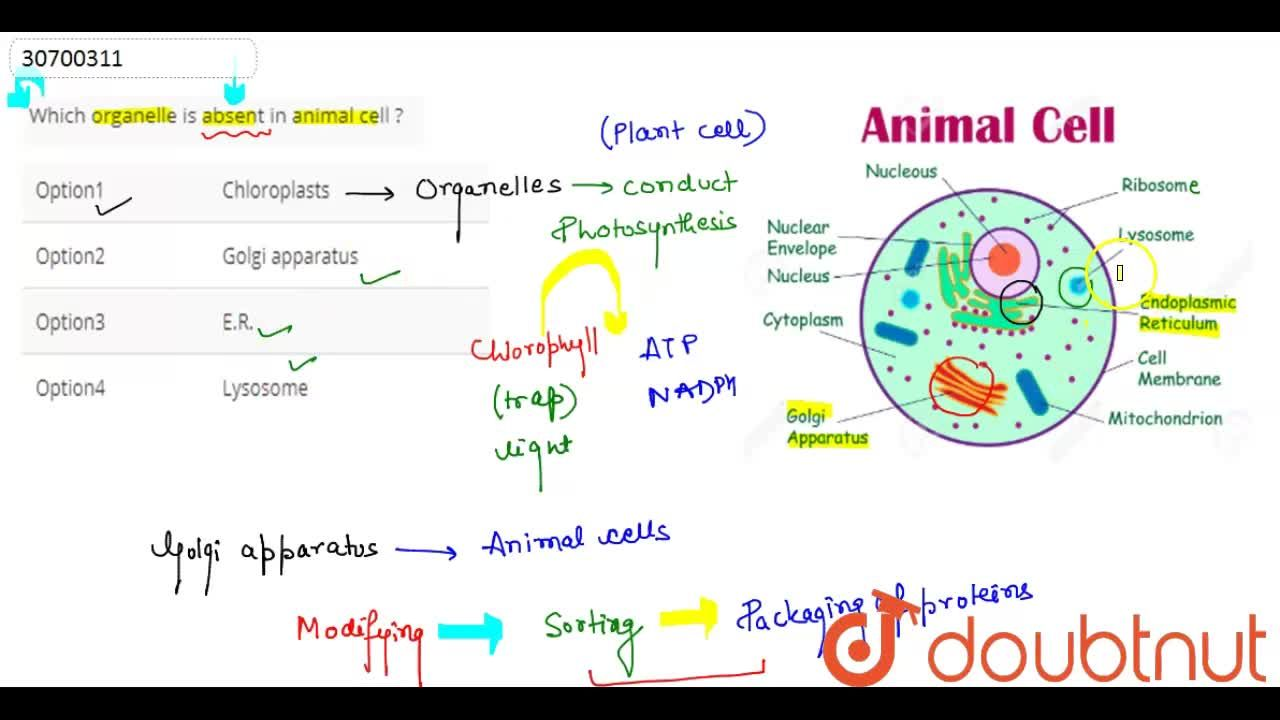 Solution for Which organelle is absent in animal cell ?