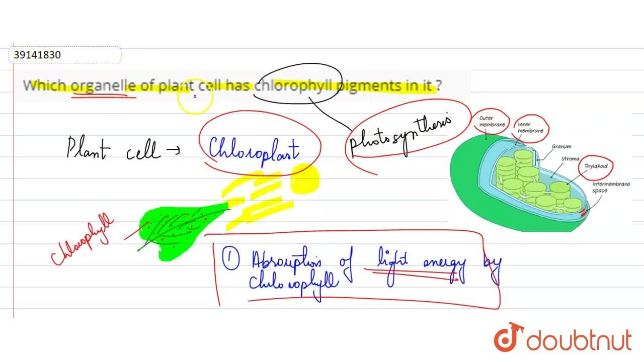 Solution for Which organelle of plant cell has chlorophyll pigm