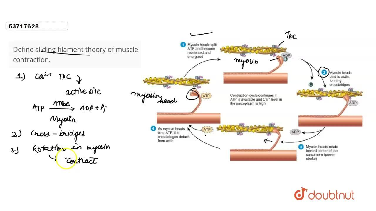 Solution for Define sliding filament theory of muscle contracti